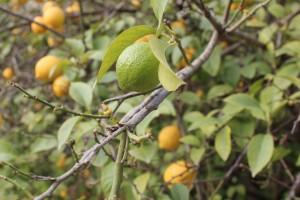 Zitronen im Jeita-Tal